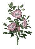 Dzikiej róży ręki rocznika klamerki rysunkowa sztuka odizolowywająca na białym backgr Obraz Stock