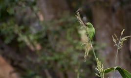 Dzikiej róży Upierścieniony Parakeet - Furażować uprawy fotografia stock