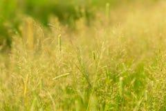 Dzikiej trawy bry Fotografia Royalty Free
