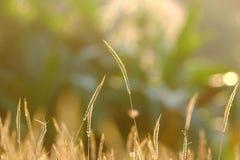 Dzikiej trawy kwiatu okwitnięcie w ogródzie z złotym światłem przy półmrokiem zdjęcie stock