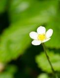 Dzikiej truskawki kwiat Obraz Royalty Free