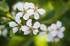 Dzikiej wiśni kwitnienie Zdjęcia Stock