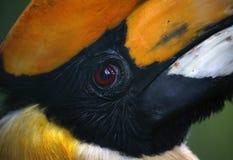 Dzioborożec w Kuala Lumpur ptaka parku, Malezja Fotografia Stock
