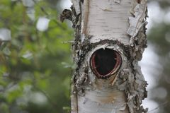Dziura w brzozy drzewie obrazy royalty free