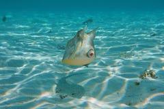 Dziwaczna ryba z rogami longhornu cowfish Obraz Royalty Free