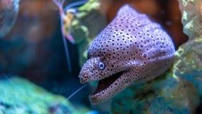 Dziwaczna twarzy ryba W wodzie zdjęcia stock