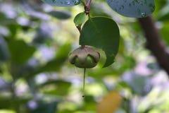Dziwaczna, urocza, zielona ale Azjatycka drzewna owoc z gwiazdową kształtną rewolucjonistki koroną wysoko up w Tajlandzkim parkow fotografia stock