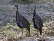 Dziwaczni ptaki Afryka Zdjęcia Stock