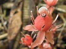 Dziwaczny czerwony kwiat Obraz Royalty Free