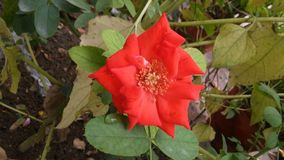 Dziwna pomarańcze róża Obraz Royalty Free