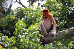 Dziwna trąbiasta małpa Fotografia Royalty Free