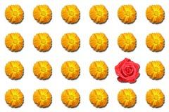 dziwna z czerwona róża. Fotografia Stock