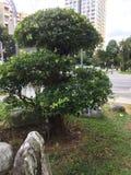 Dziwny ale piękny drzewo w Singapur zdjęcia royalty free