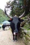Dzo, nepaalese母牛(牦牛杂种)与大垫铁,在Jorsale,珠穆琅玛营地艰苦跋涉,尼泊尔 库存图片