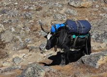 Dzo, hybrid of yak and cow carrying bags Royalty Free Stock Image