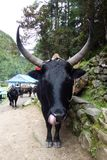 Dzo nepaalese ko (en Yakbland) med stora horn, i Jorsale, Everest baslägertrek, Nepal arkivbilder