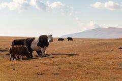 Dzo to pasture. Royalty Free Stock Image