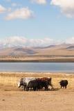 Dzo to pasture. Stock Photo