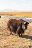 Dzo to pasture. Stock Image