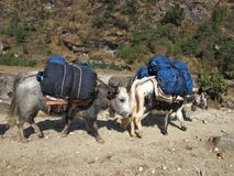 Dzos carrying goods to Namche Bazar Royalty Free Stock Photo