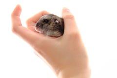 dzungarian χάμστερ στο ανθρώπινο χέρι Στοκ Φωτογραφία
