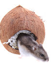 Dzungarian hamster and his coconut house Stock Images