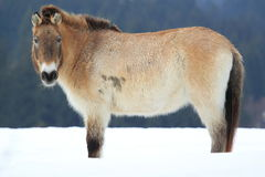 Dzungarian horse Stock Photo
