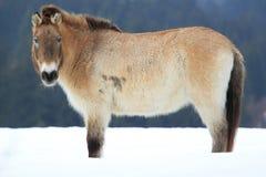 dzungarian häst Arkivfoto