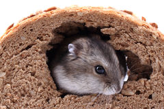 Dzungarian mouse and the bread Stock Images