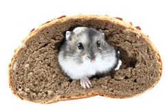 Dzungarian mouse and the bread Stock Image