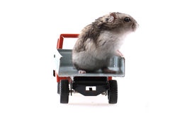 Dzungarian mouse in the car Royalty Free Stock Image