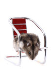Dzungarian mouse in the chair Stock Photos