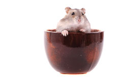 Dzungarian mouse Royalty Free Stock Photography