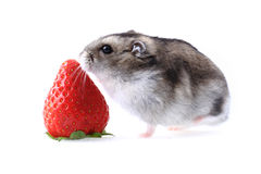 Dzungarian mouse and fresh strawberry isolated Royalty Free Stock Photo