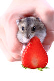 Dzungarian mouse and fresh strawberry isolated Royalty Free Stock Images