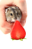 Dzungarian mouse and fresh strawberry Stock Photography