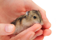 Dzungarian mouse in the human hand Royalty Free Stock Images