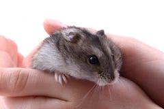 Dzungarian mouse Royalty Free Stock Photos