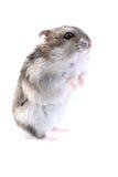 Dzungarian mouse Stock Photos