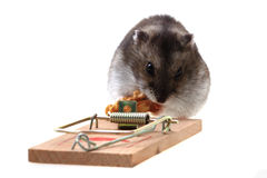 Dzungarian mouse in the mousetrap Royalty Free Stock Photography