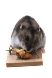 Dzungarian mouse in the mousetrap Stock Images