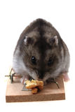 Dzungarian mouse in the mousetrap Stock Photo