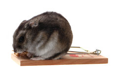 Dzungarian mouse in the mousetrap Royalty Free Stock Photo