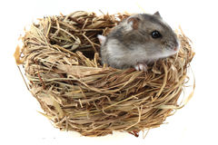 Dzungarian mouse in the nestle Stock Photo