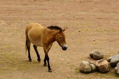Dzungarian wild horse Royalty Free Stock Photos