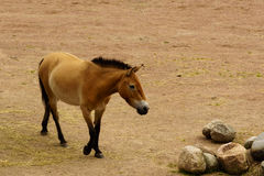 Dzungarian wild horse Royalty Free Stock Photo