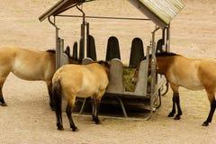 Dzungarian wild horse Stock Photo