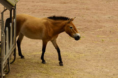 Dzungarian wild horse Royalty Free Stock Images