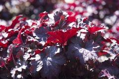 dzwonów koralowy kwiatu heuchera obsydian Fotografia Stock