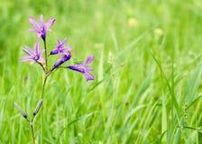 dzwonów kwiatów pasikonik Zdjęcia Stock